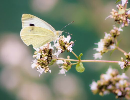 Cabbage White from Canva